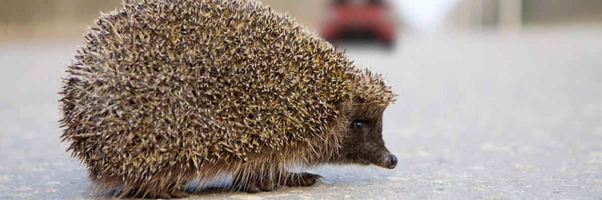 Protection of hedgehogs
